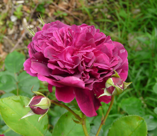 Rosa 'William Shakespeare 2000 ™'
