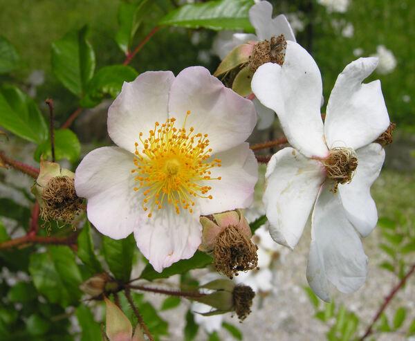 Rosa longicuspis Bertol. var. sinowilsonii (Hemsley) T.T. Yü & T.C. Ku