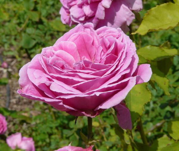 Rosa 'Tartarus'