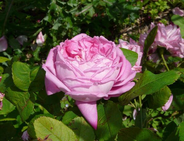 Rosa 'Comtesse de Mortemart'