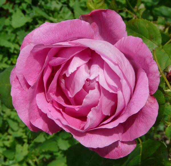 Rosa 'François Premier'