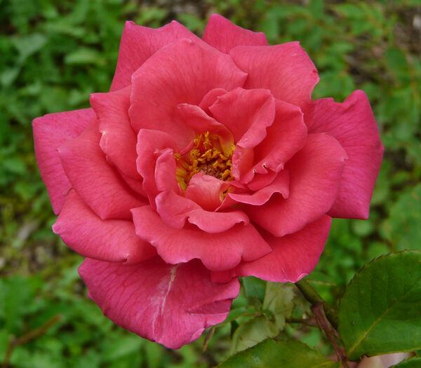 Rosa 'Xavier Olibo'