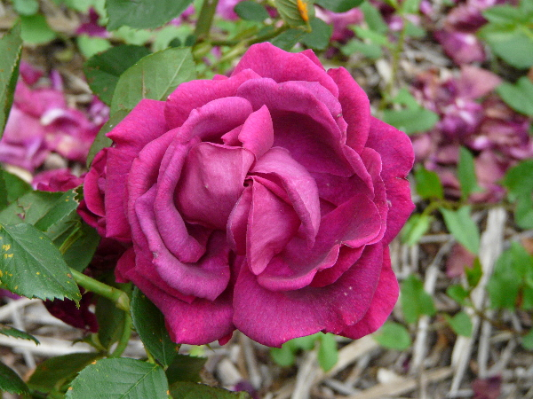 Rosa 'Fisher Holmes'