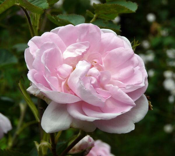 Rosa 'Celestial'