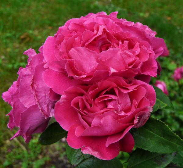 Rosa 'Madame Cordier'