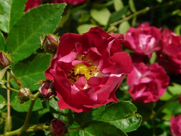 Rosa 'Merveille des Rouges'