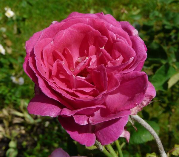 Rosa 'Psyche'