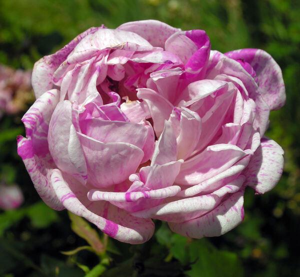 Rosa 'Gros Provins Panaché'