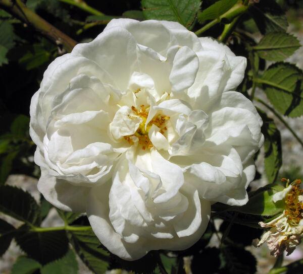 Rosa 'Blanche de Belgique'