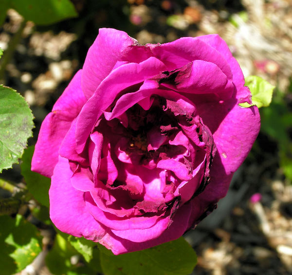 Rosa 'Monsieur Francisque Rive'