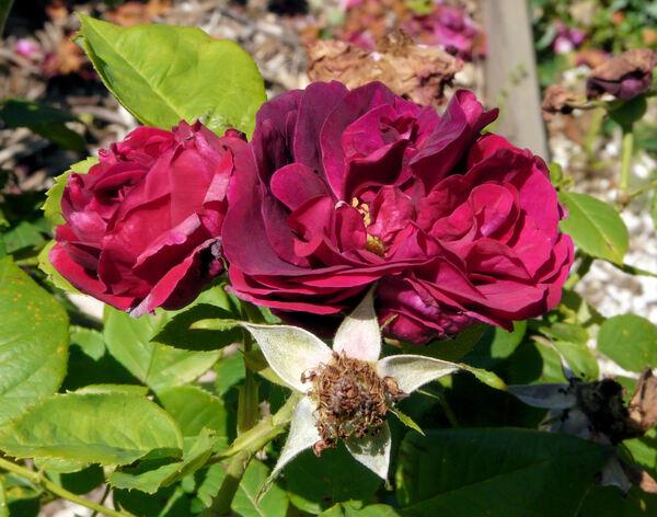 Rosa 'Souvenir de Grégoire Bordillon'