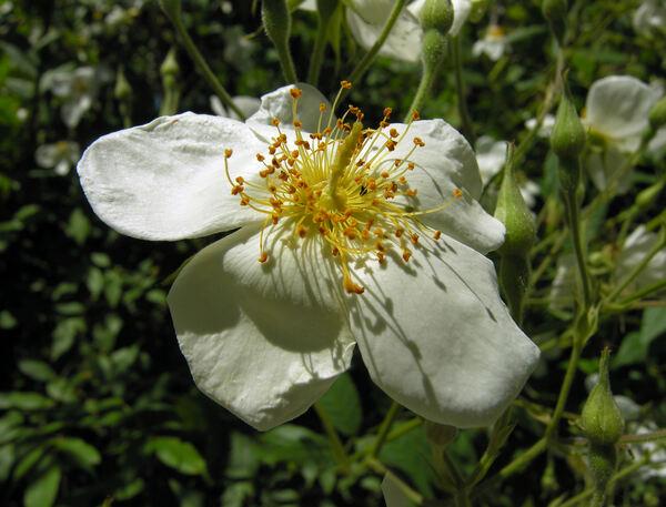 Rosa brunonii Lindl.