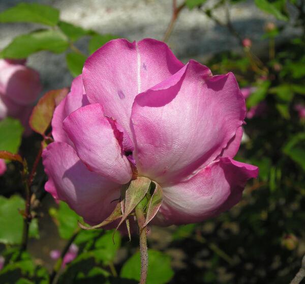 Rosa 'Camélia Rose'