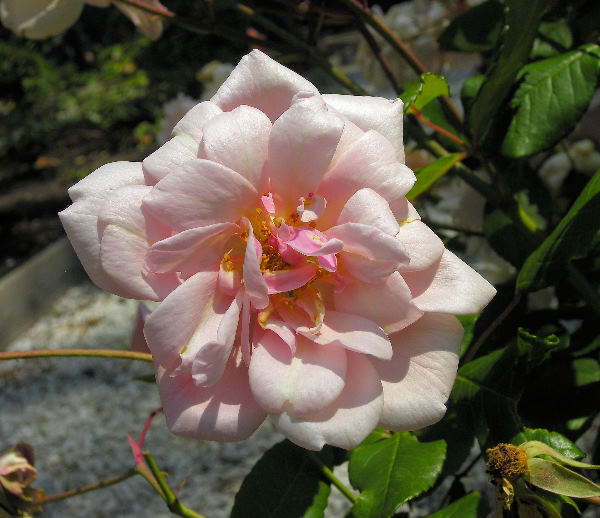 Rosa 'Perle d'Or'