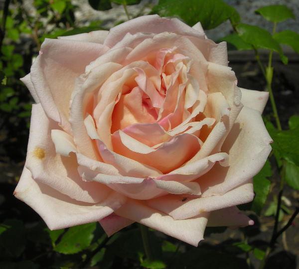 Rosa 'Catherine Mermet'