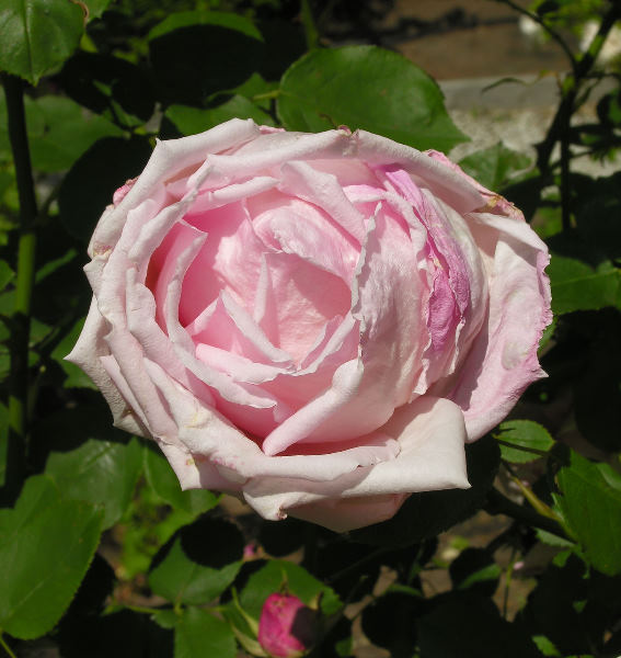 Rosa 'Arrillaga'