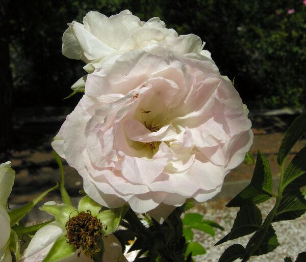 Rosa 'Schriefer'