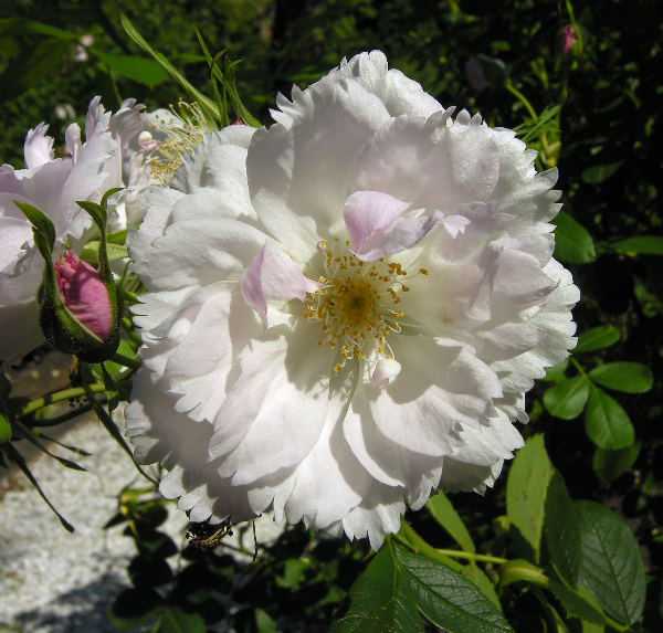 Rosa 'Fimbriata'