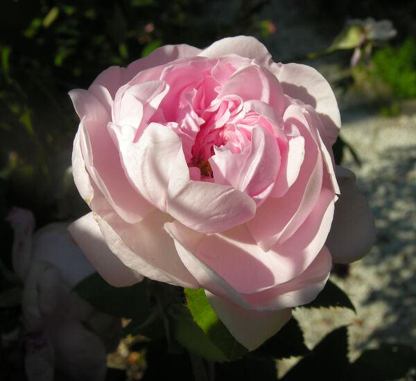 Rosa 'Fantin-Latour'