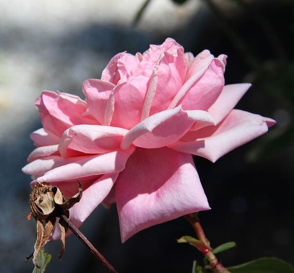 Rosa 'Madame Laurette Messimy'