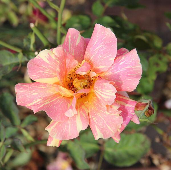 Rosa 'Anvil Sparks'