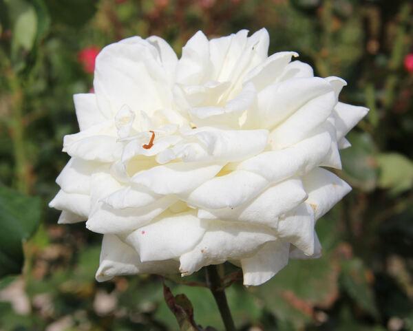 Rosa 'Sincera'