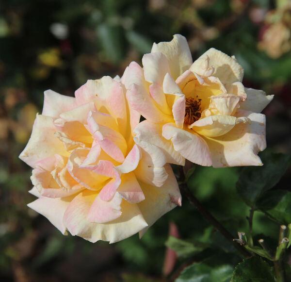 Rosa 'Anne d'Ornano'