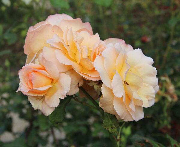 Rosa 'Apricot Nectar'