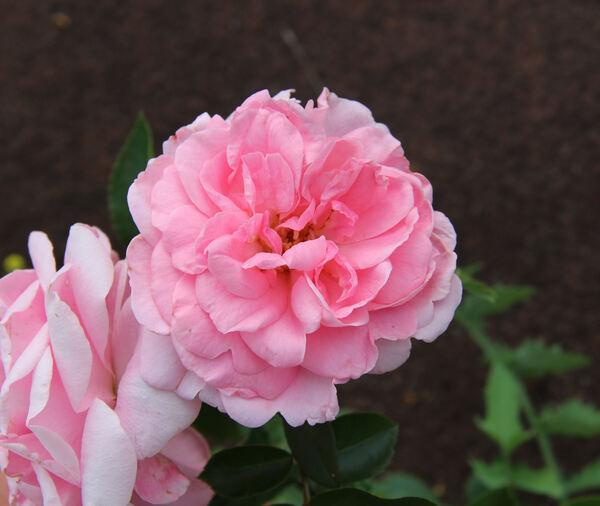 Rosa 'Granny'
