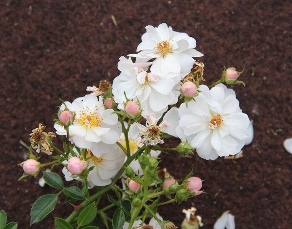 Rosa 'Avon'