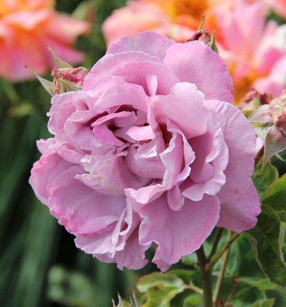 Rosa 'Saint-Exupery ®'