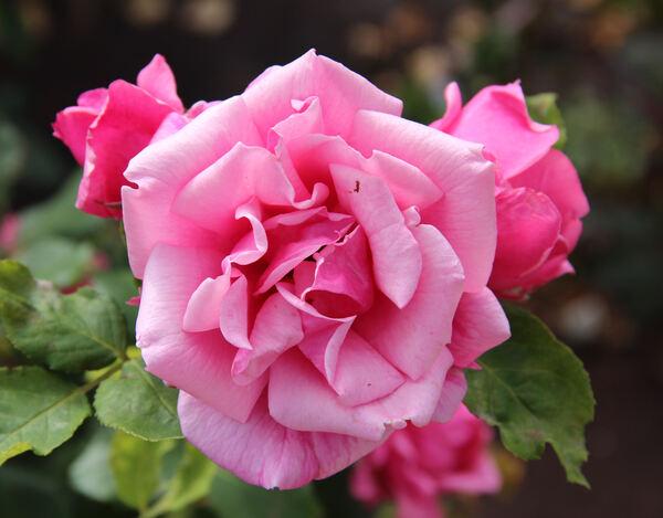 Rosa 'Pink Jacqueline'