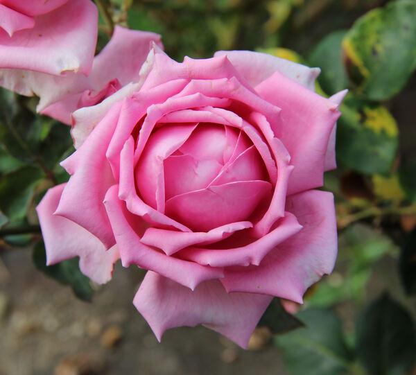 Rosa 'Arminda'