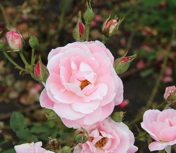 Rosa 'Caritas'
