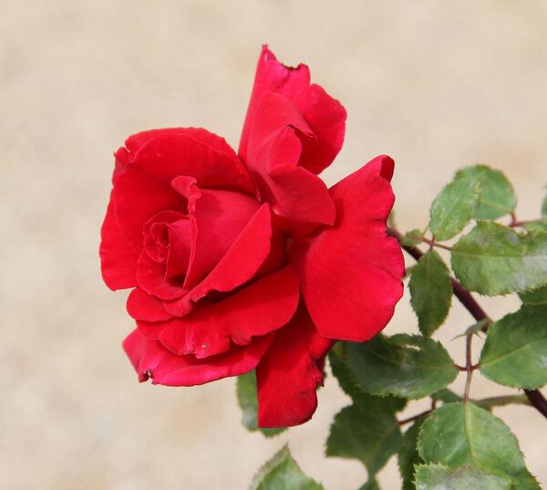 Rosa 'Papa Meilland, Cl. ®'