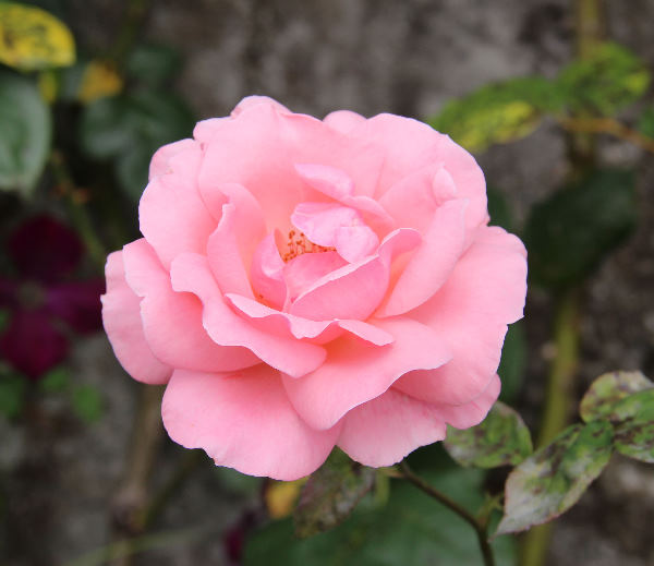 Rosa 'Queen Elizabeth, Cl.'