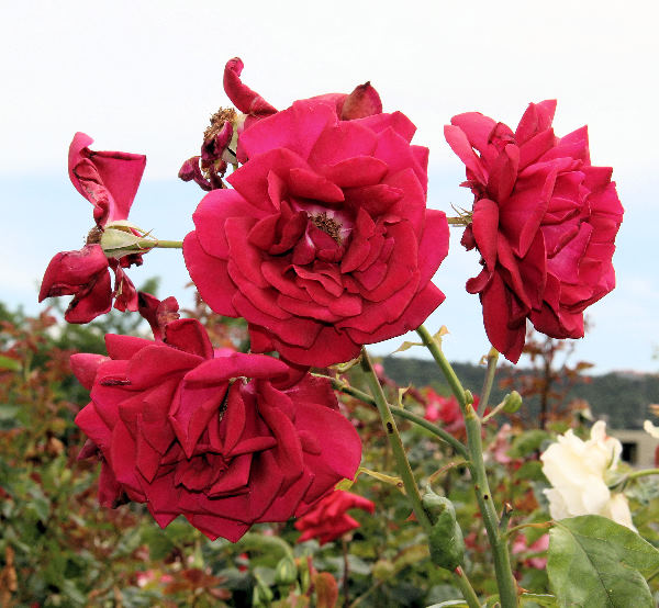 Rosa 'Kentucky Derby'