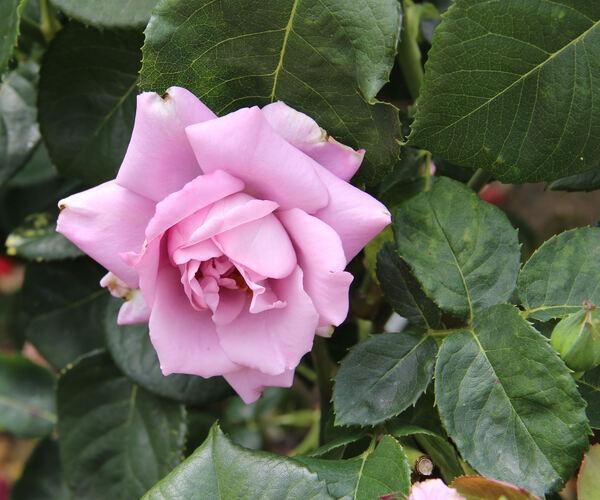 Rosa 'Blue Heaven'