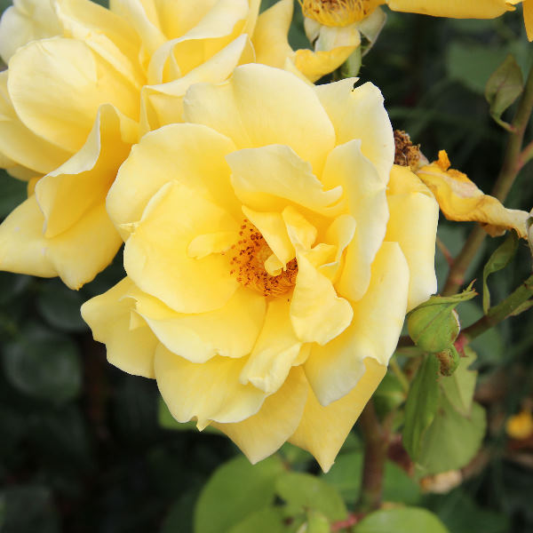 Rosa 'Landora ®'