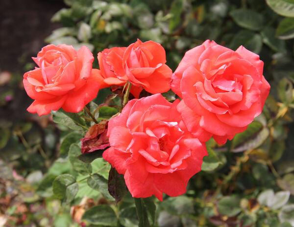 Rosa 'Rebellastar'
