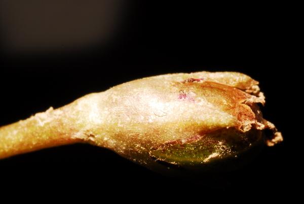 Limosella aquatica L.