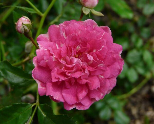 Rosa 'Lady Gay'