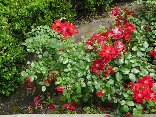 Rosa 'Red Mirato ®'