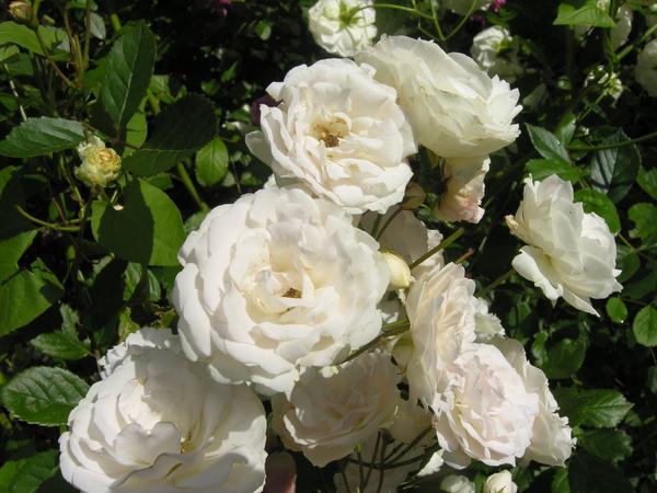Rosa 'Marie-Jeanne'