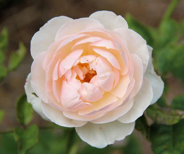 Rosa 'English Garden ®'