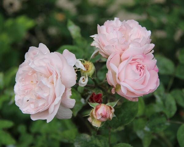 Rosa 'Aphrodite ®'