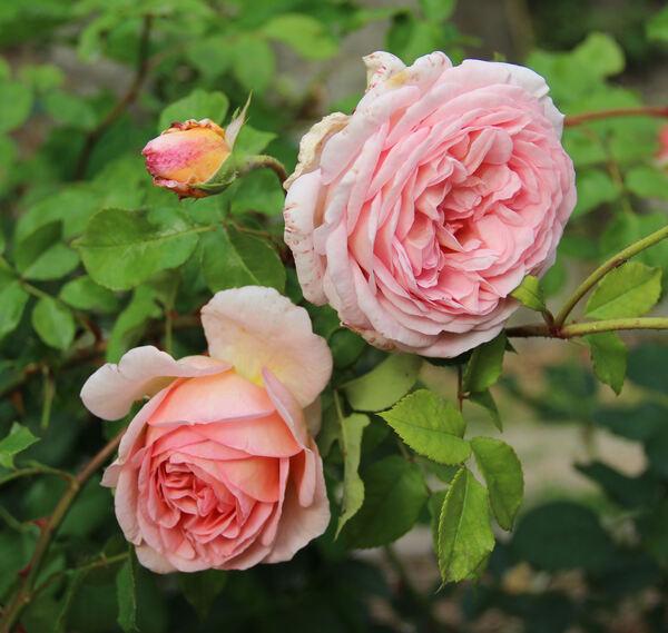 Rosa 'Abraham Darby ®'