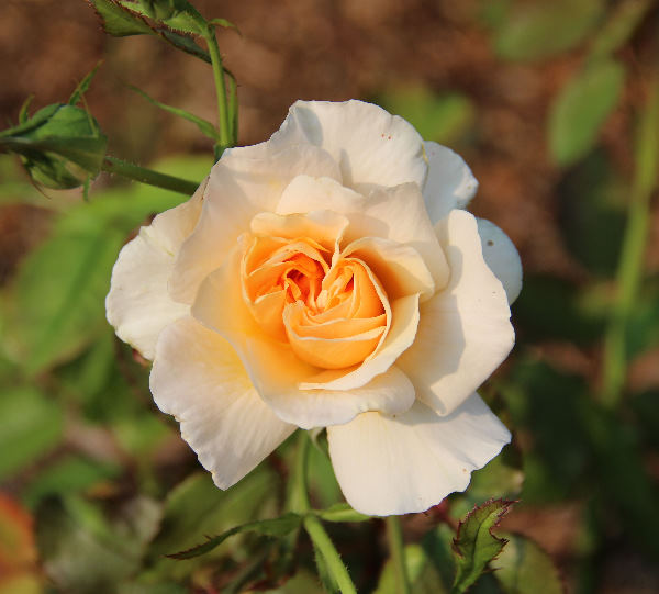 Rosa 'Silvina Donvito ®'