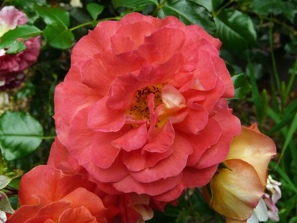 Rosa 'Garden of Roses ®'