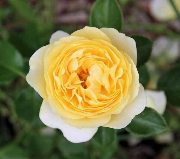 Rosa 'Patricia Kent'